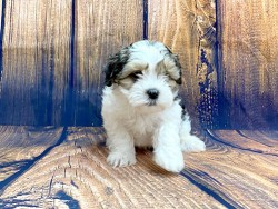 Small white, brown, and black Shih Poo puppy sitting looking sad