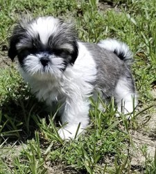a lone adorable shih tzu puppy