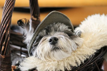 image of shih tzu looking cute in hat: spay and neuter your shih tzu to ensure healthy and happy Shih Tzu