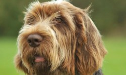 Image of a Spinone Italiano dog