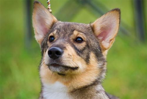 Swedish Vallhund posing extremely handsome