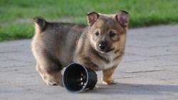 Swedish Vallhund puppy having a casual stroll in the yard