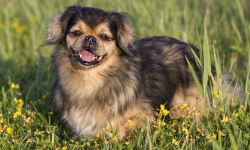 Tibetan Spaniel relaxing in the grass on a hot day