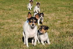 toy fox terrier puppies running behind their mother