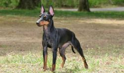 toy Manchester terrier standing guard