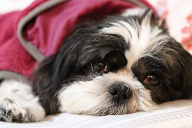 vaccinate your shih tzu for optimal health