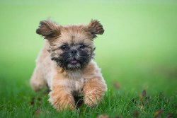 where can i buy a shih tzu puppy
