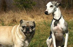 Whippet dog with his Pug buddy