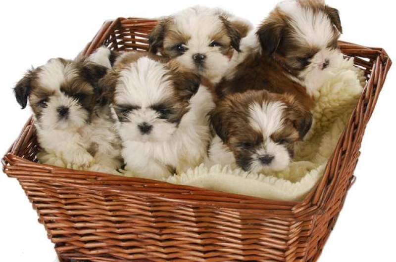 A litter of adorable Shih Tzu puppies, so How often should you feed them? is free feeding a good idea?