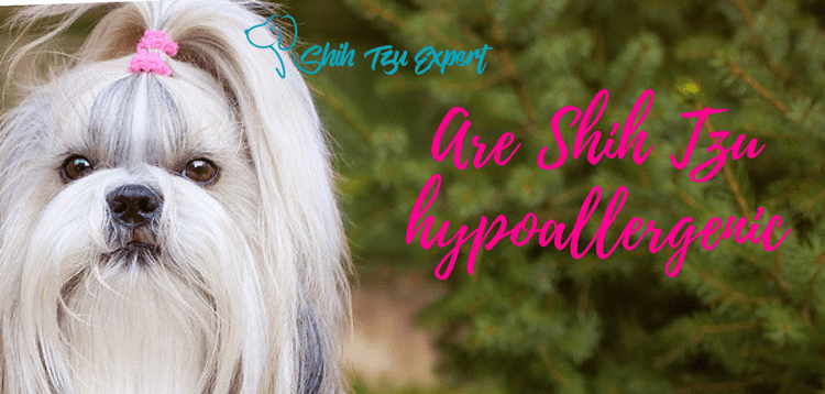 Are Shih Tzu hypoallergenic? (do Shih Tzu shed?)