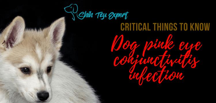 Dog pink eye conjunctivitis infection