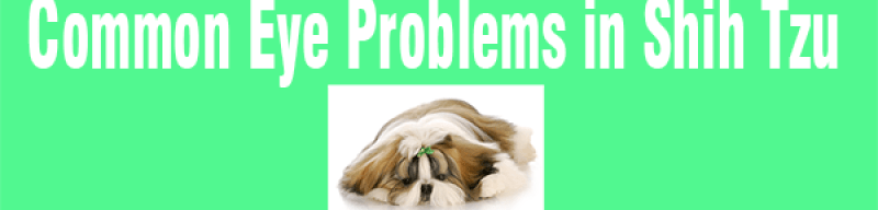 Shih Tzu glaucoma - The most painful Eye condition and what can be