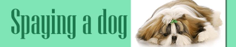 Spaying a dog