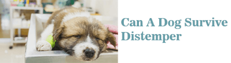 Can A Dog Survive Distemper