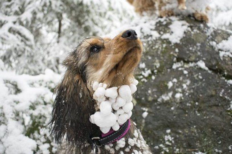 Milk Fever in dogs