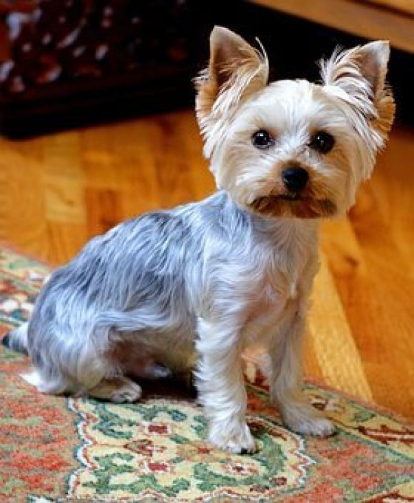 How to groom an Aggressive Yorkie dog?