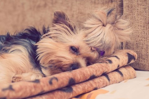 What to expect if you take your Yorkie to a top groomer?