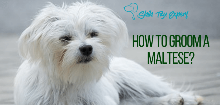 How to Groom A Maltese_ A Step By Step Guide
