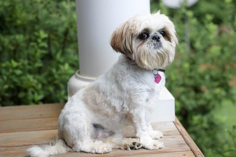 Shih Tzu Terrier Mix Health