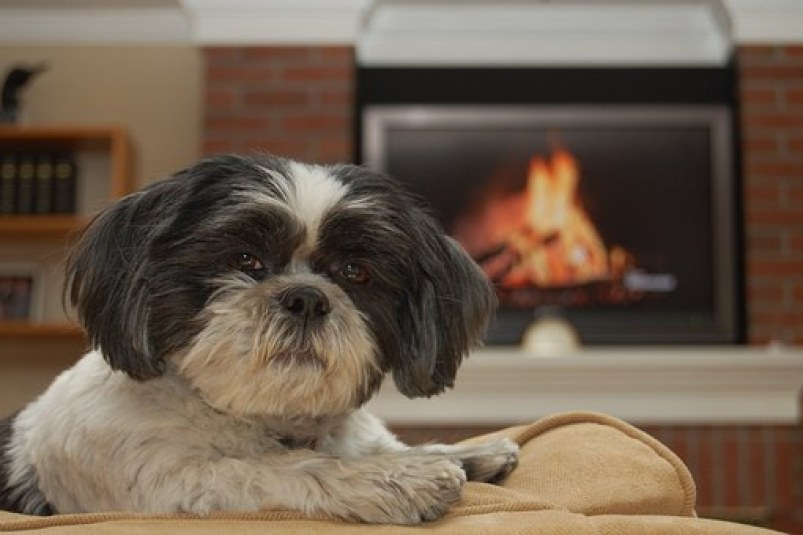 Shih Tzu Terrier Mix