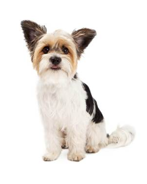 What does a Shih tzu Terrier Mix look like?