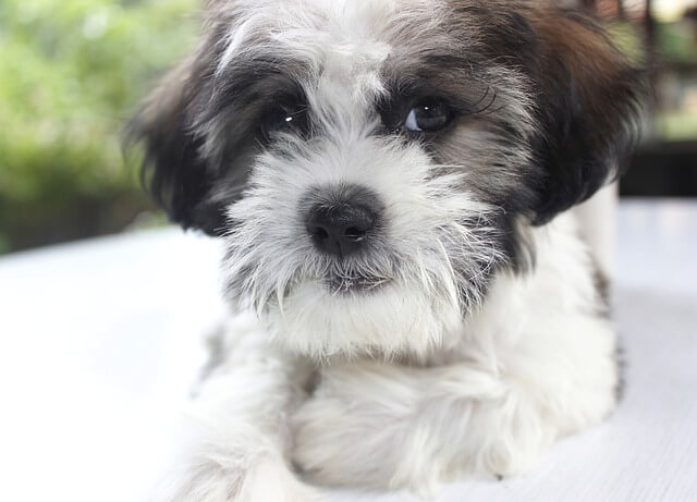 How Much Do You Pay for a Shih Tzu Mix?