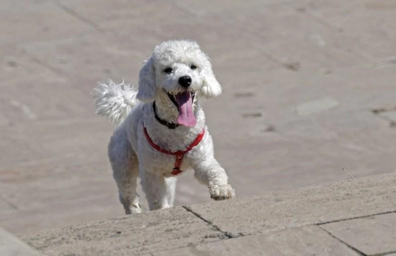 Pet Dreamland Hands-Free Dog Leash
