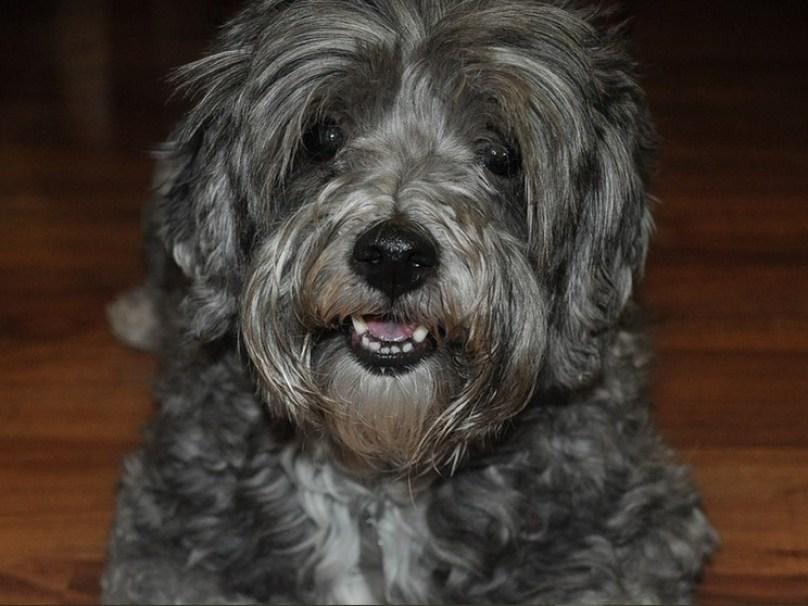 Whimzees vs. Greenies (Best Dog Dental Treats)