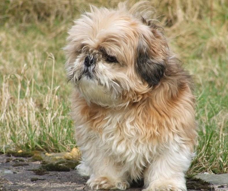 Silky Terrier Shih Tzu mix (Silky Tzu)