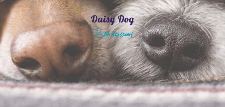 Daisy Dog AKA Teddy Bear Poo
