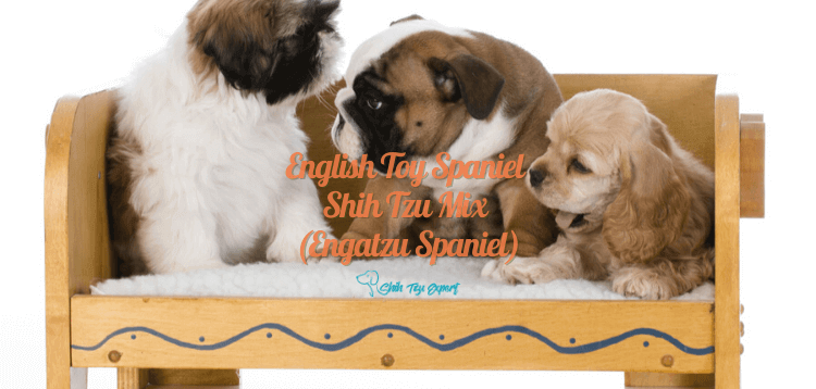 English Toy Spaniel Shih Tzu Mix (Engatzu Spaniel) (1) (1)