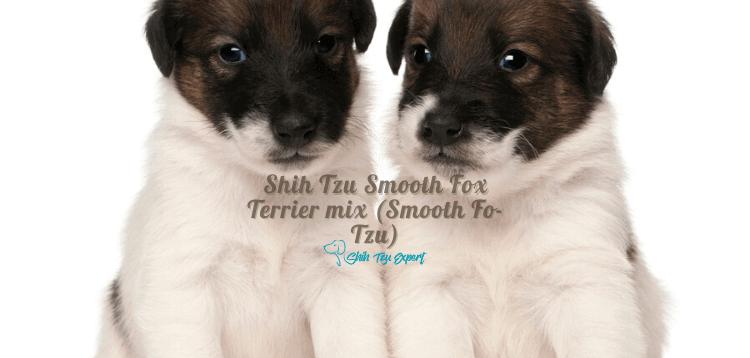 Shih Tzu Smooth Fox Terrier mix (Smooth Fo-Tzu)