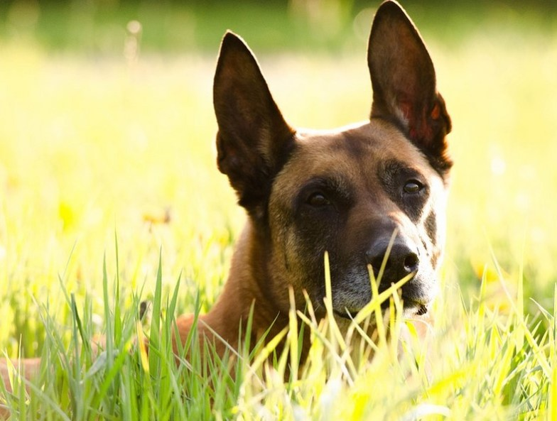Personality and Temperament of a German Malinois Mix