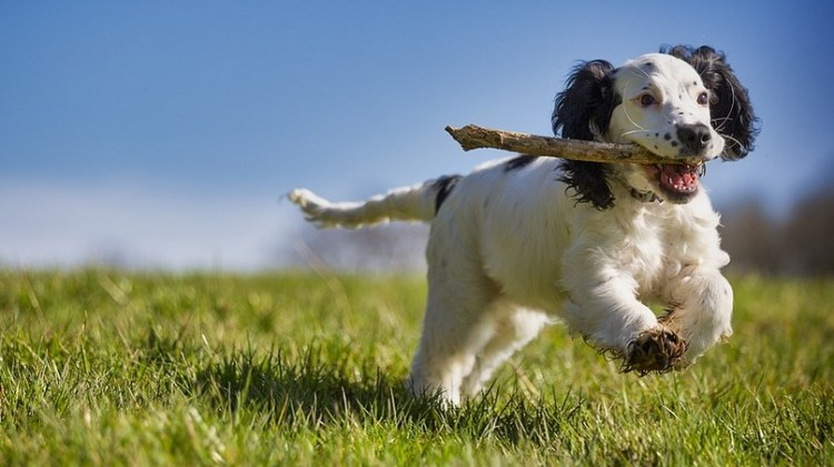 Brittany Spaniel Mixed Breeds