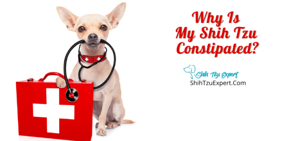 Why Is My Shih Tzu Constipated?