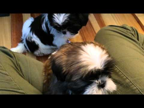Shih Tzu Sisters Share the Silly Spotlight on Their First Day Home