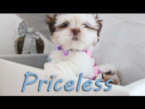 Cute Shih Tzu – Priceless