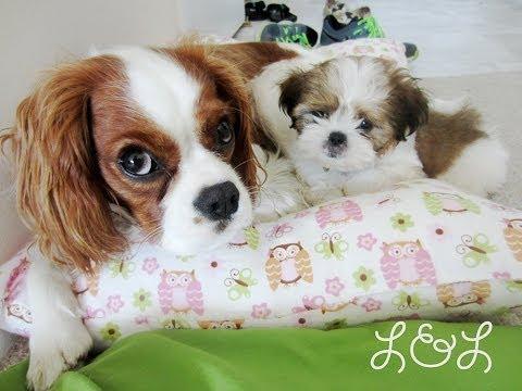 Leia's Life (Shih Tzu Puppy) Week 1