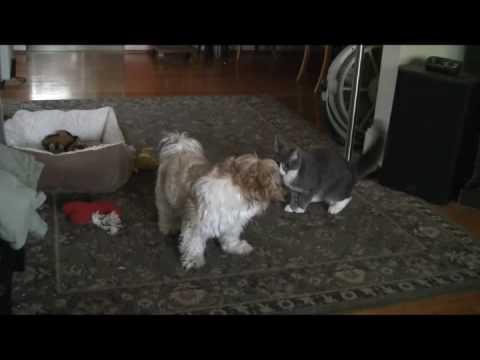Shih Tzu Puppy & Tom Cat Kitten Playing