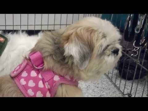 Milynn: Shih Tzu, Female, 9 Yrs. Old, 15 Lbs.