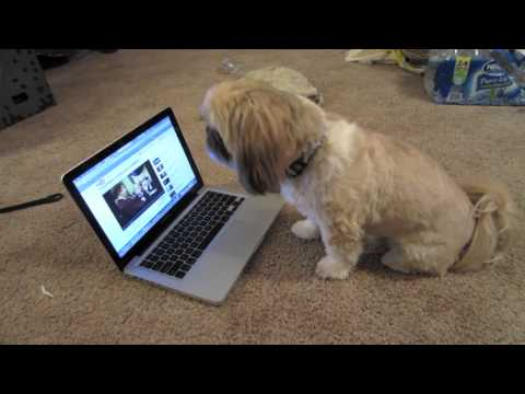 Badger the Shih tzu, Singing