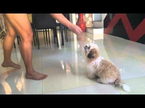 Shih Tzu Puppy Bumble Bee Doing Many Tricks