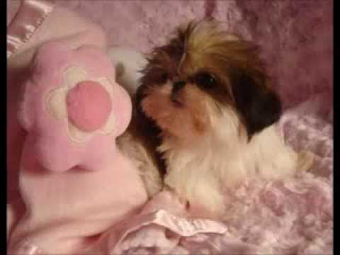 Cute Teacup Shih Tzu Video