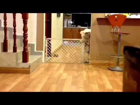 Shih Tzu Finds Creative Ways To Escape Gate