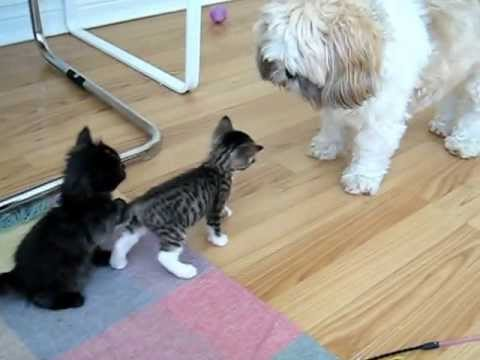Shih Tzu LOVES Kittens
