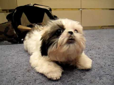 Jax The Sassy Shih Tzu Puppy