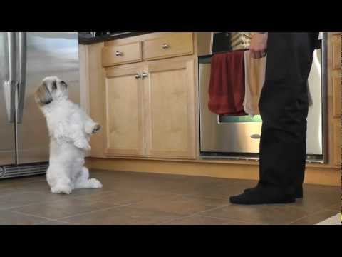 Shih Tzu Training – Cooper's new trick