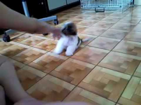 Shih Tzu Training – Only 2 Months Old
