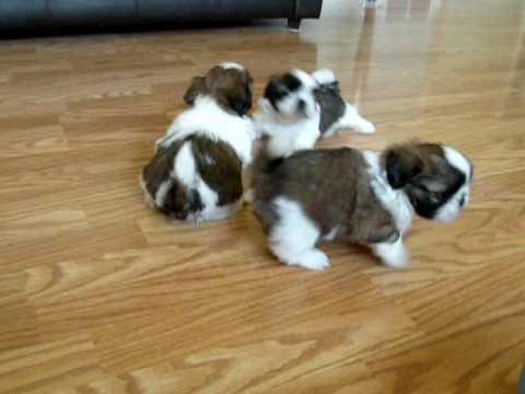 Shih Tzu Puppies 5 1/2 weeks(2)