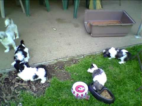 8 week old baby Shih Tzu puppies